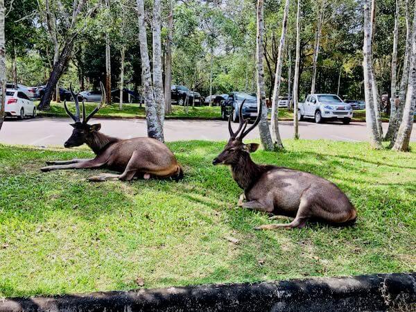 カオヤイ国立公園のキャンプ場にいた野生の鹿