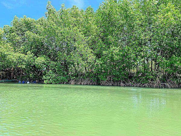 水辺に生えるマングローブ木々