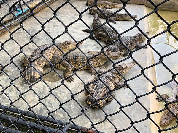 サムプランエレファントグランドアンドズー(サムプラン象園)で飼育されているクロコダイル