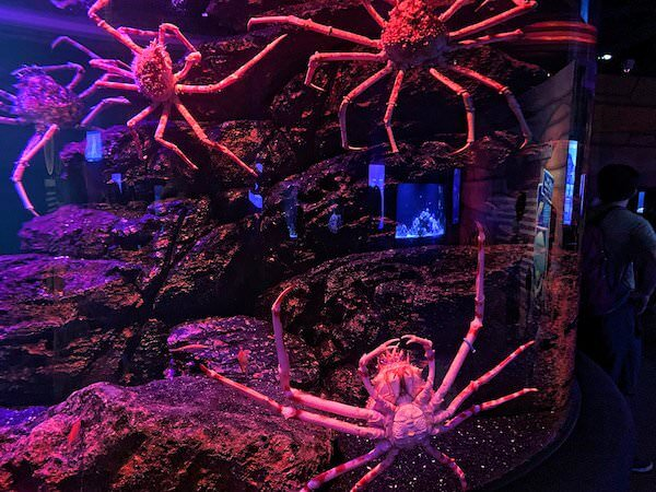 シーライフオーシャンワールドバンコク(Sea Life Ocean World Bangkok)で展示されているタカアシガニ