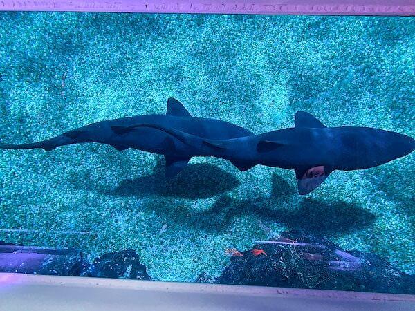 シーライフオーシャンワールドバンコク(Sea Life Ocean World Bangkok)のグラスボトムボートから見えた魚2