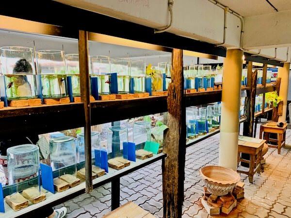 サイヤミーズ・ファイティング・フィッシュ・ギャラリー(Siamese Fighting Fish Gallery)の水槽