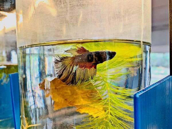 サイヤミーズ・ファイティング・フィッシュ・ギャラリー(Siamese Fighting Fish Gallery)に展示されているベタ