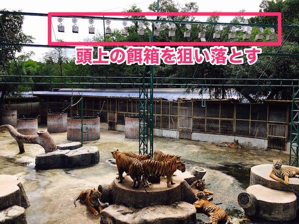 餌を待っている虎