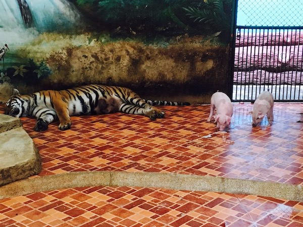 母虎と子豚