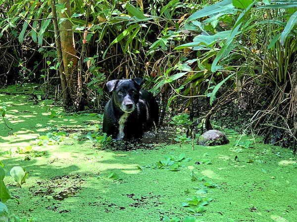 水路で水浴びする野良犬