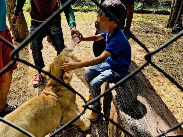 ボナンザ動物園 ライオンの赤ちゃんへの餌やり