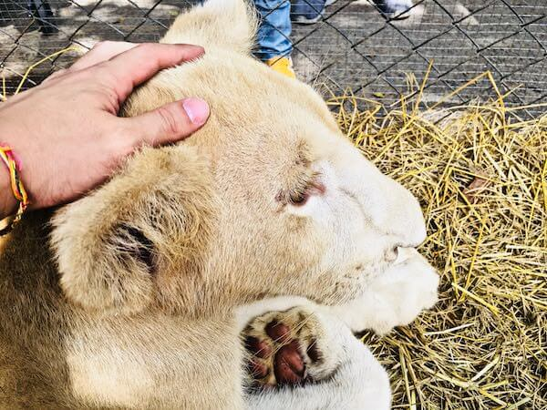 ボナンザ動物園のライオンの赤ちゃん
