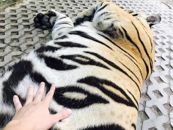 虎のお腹を触る
