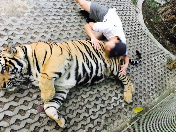 虎に顔を近づけて撮影