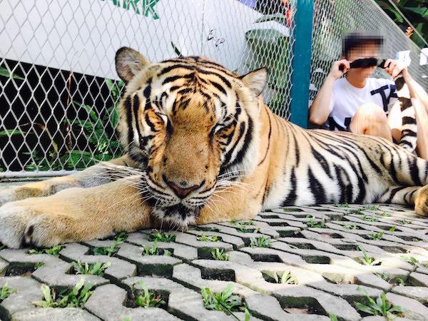 タイガーパーパタヤでの撮影4