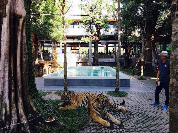 タイガーパークパタヤ ビッグサイズの虎