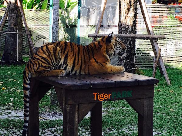 MEDIUMサイズの虎