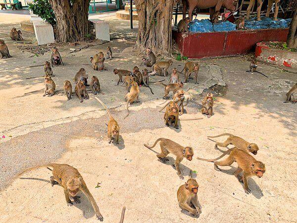 ワットガイに生息する猿の群