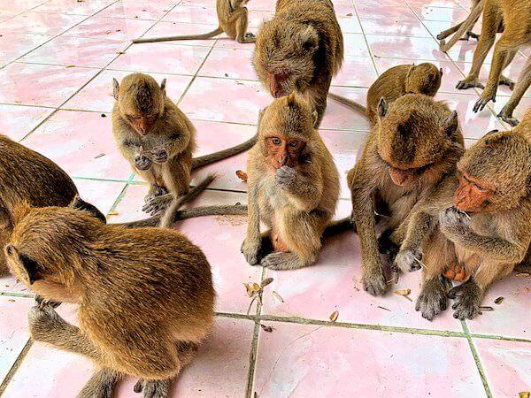 ワットガイに生息する猿の群2